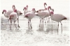 ELEGANT STRIPES PANNO FLAMINGO ����� 500x750x10